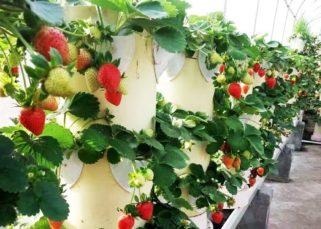 dikey tarım çilek
